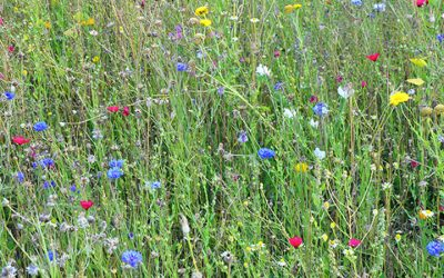 Wildflowers in Woking
