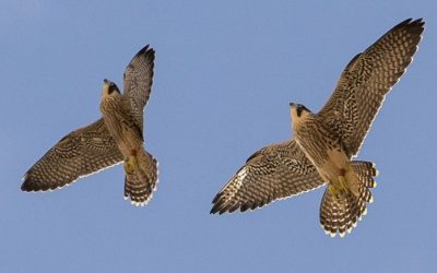 Woking Peregrine Project