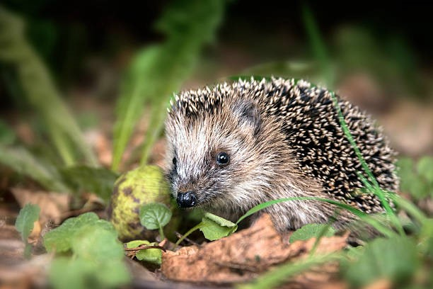 Hedgehog Awareness Week 2 – 8 May 2021